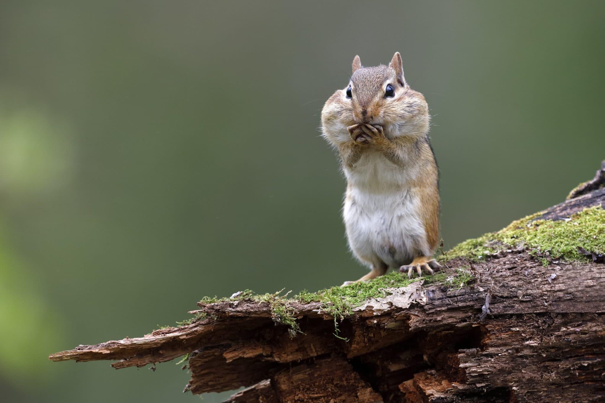 Chipmunk standing on a mossy log