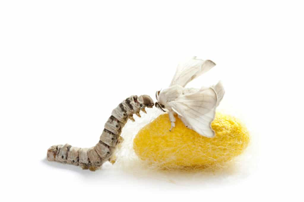 butterfly of silkworm with cocoon silk worm showing the three stages of its life