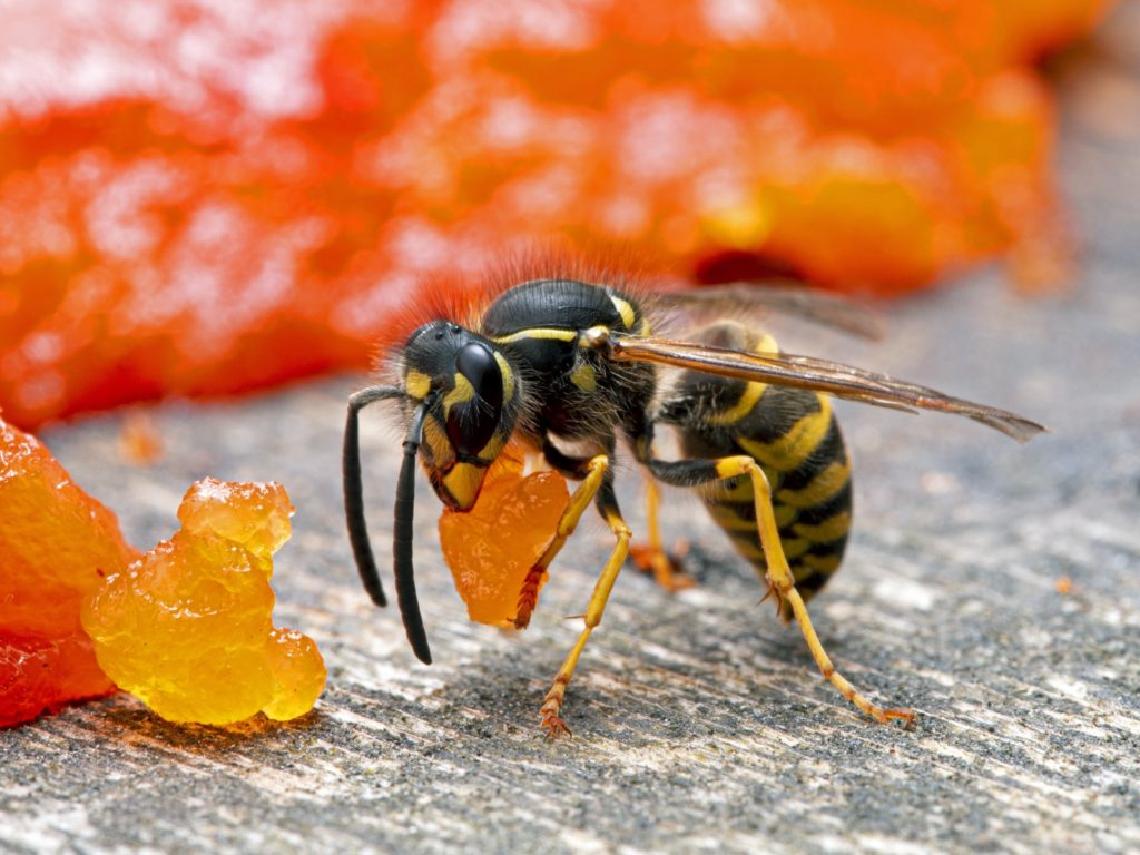 A yellowjacket eating a piece of salmon.