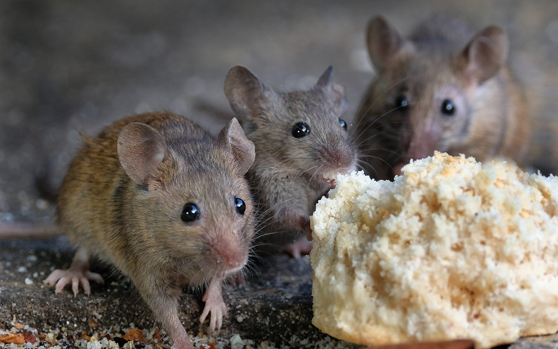 3 proven ways to get rid of mice fast | environmental pest
