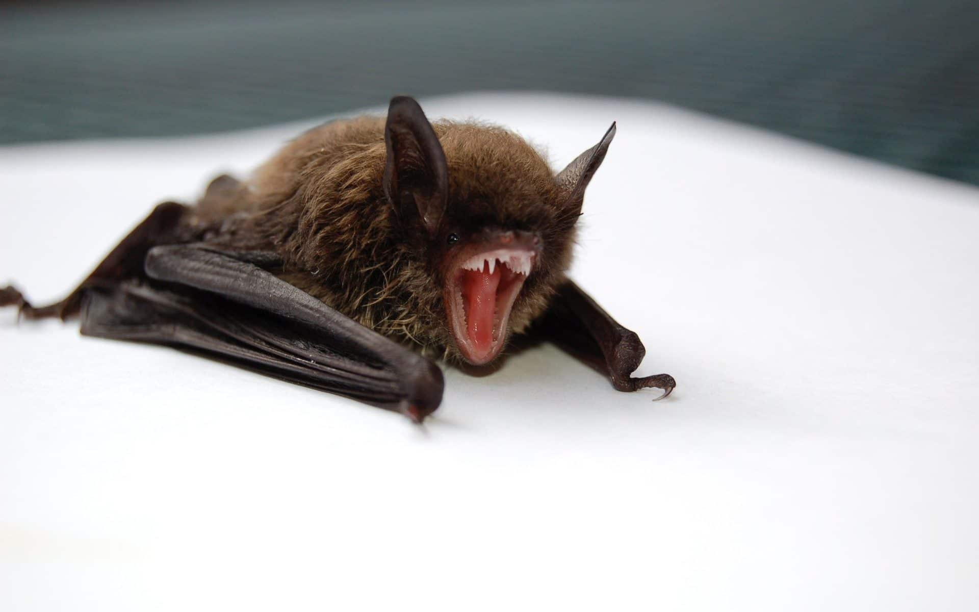 Step By Guide To Bat Removal
