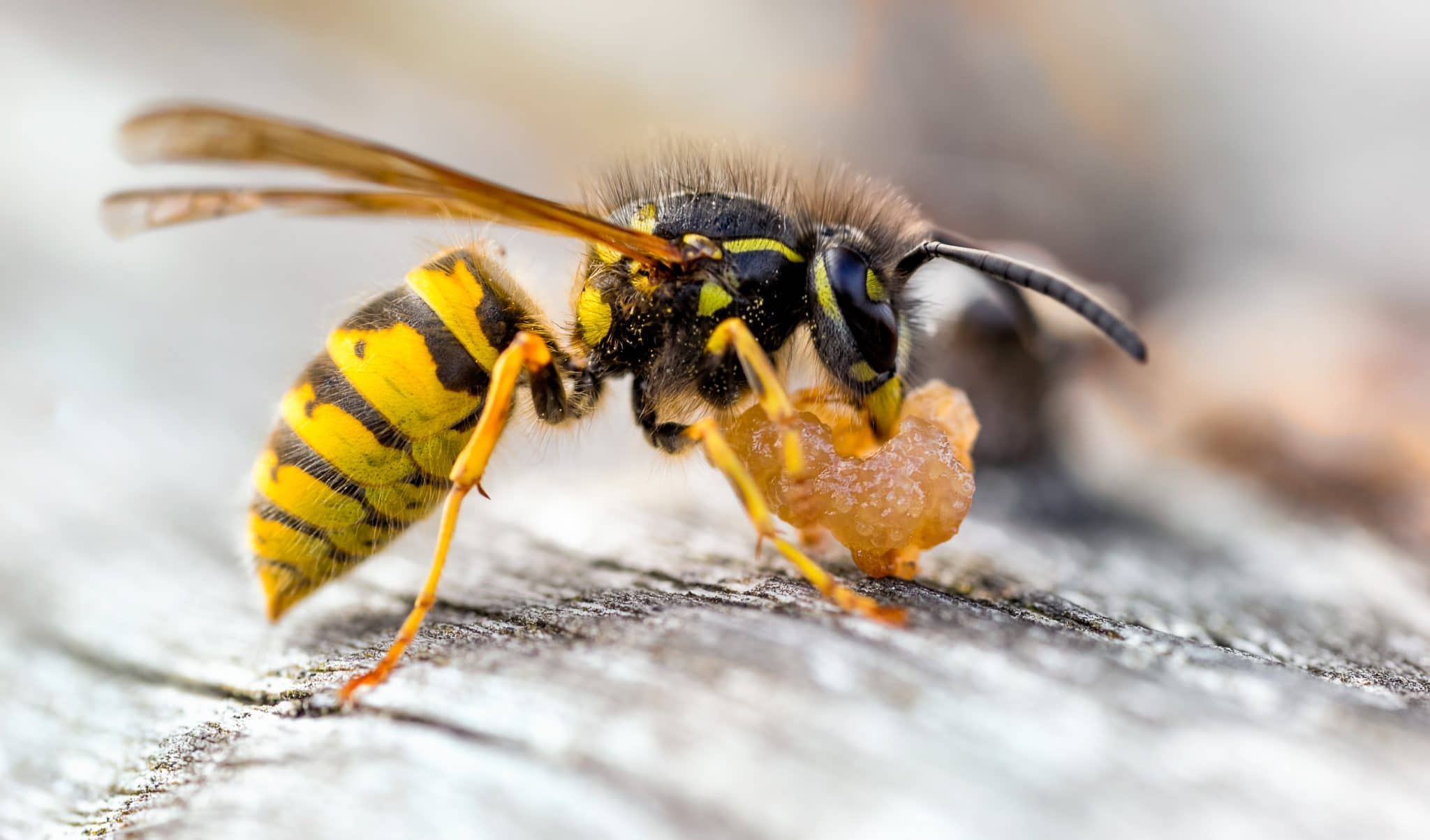 The Common yellow jacket eating