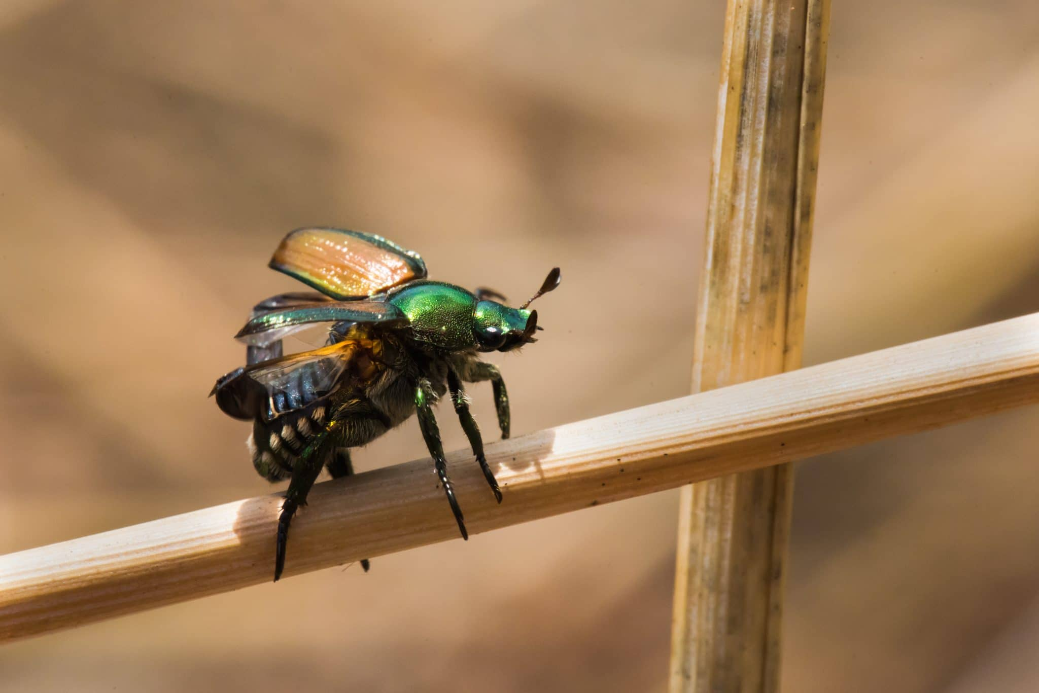 japanese beetle flying