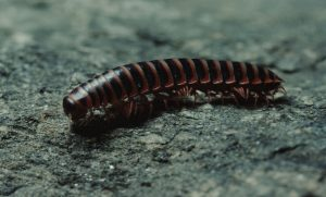 millipede up close