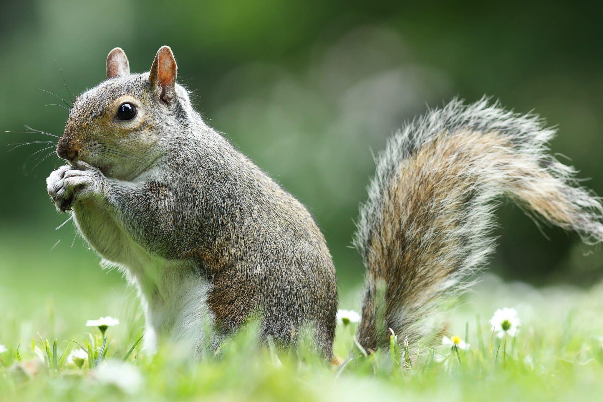 grey squirrel eating nut in the park ( Sciurus carolinensis )