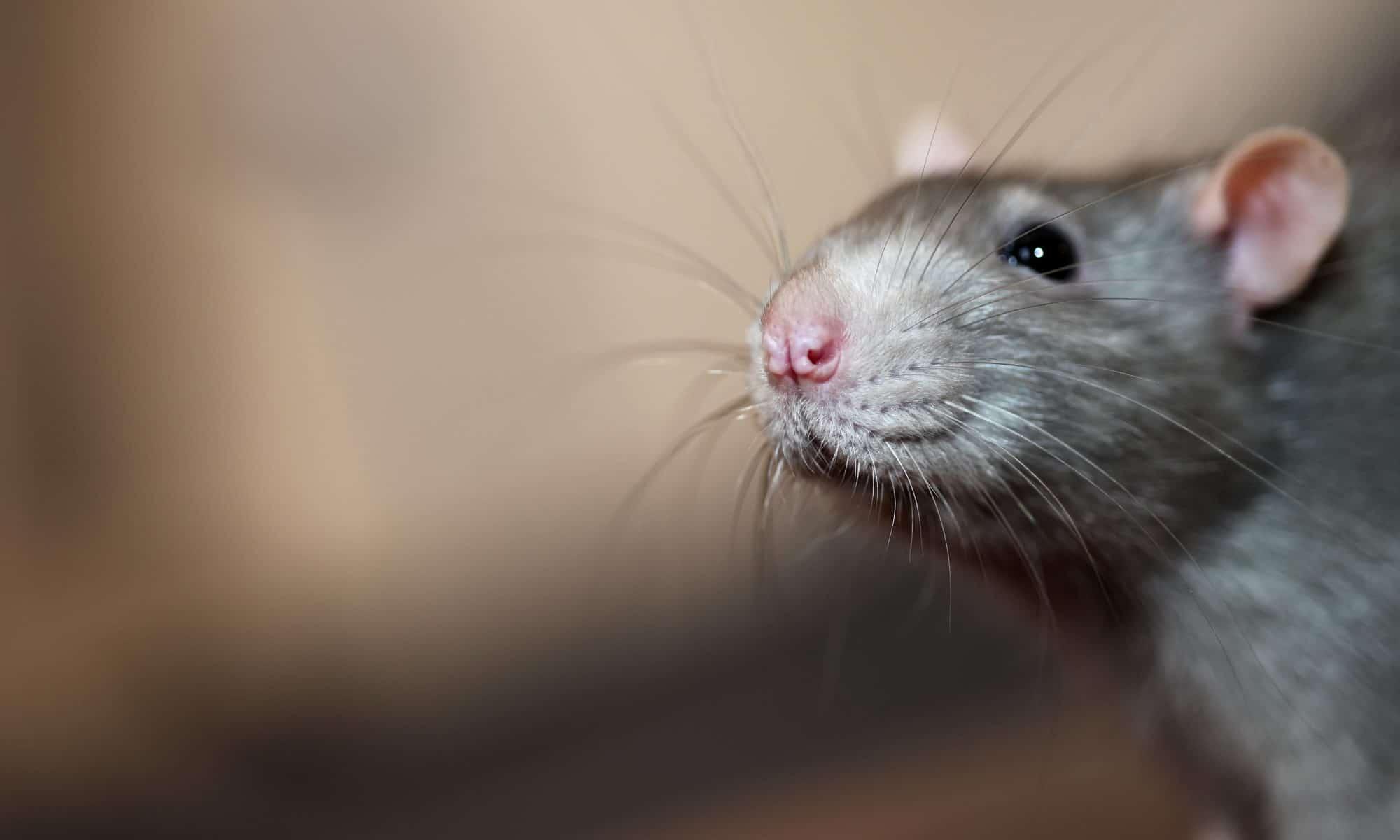 Portrait of domestic mouse