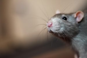 Portrait of domestic mouse