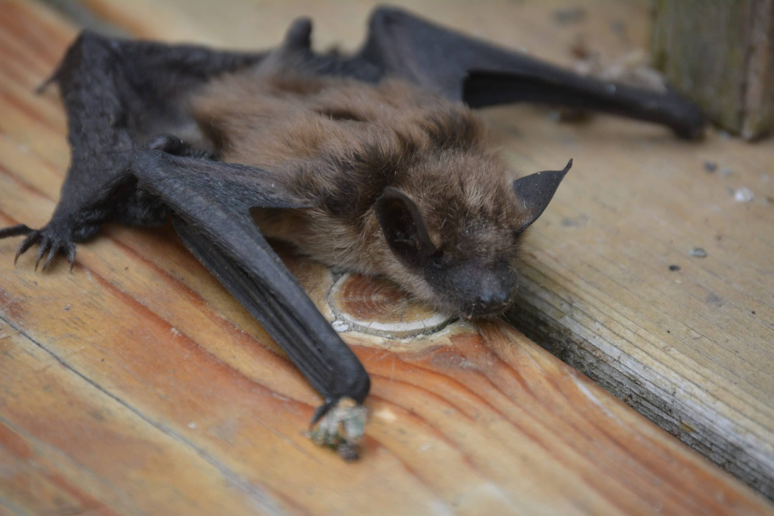 Big Brown Bat on a Deck