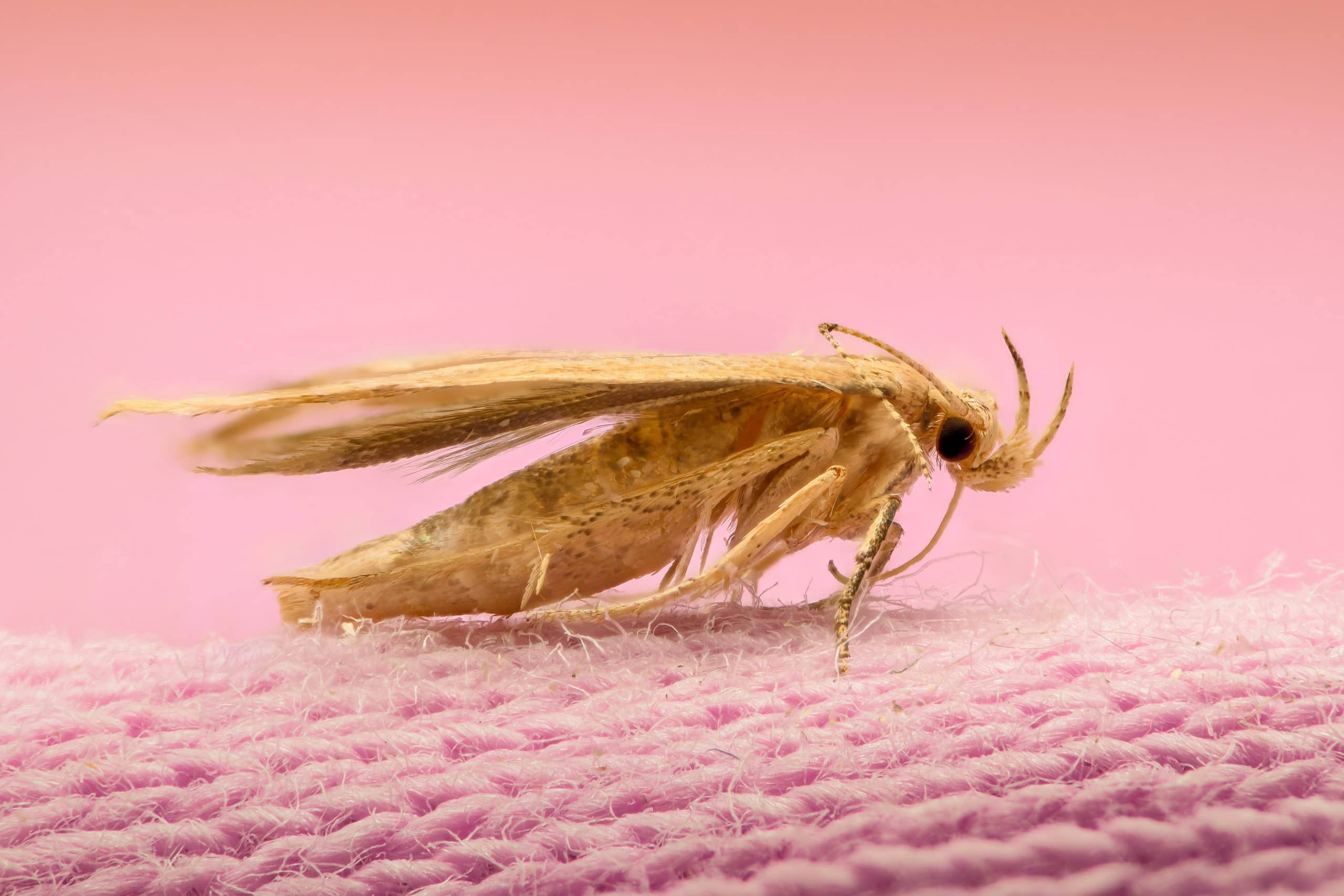 a moth on a pink, knit piece of clothing