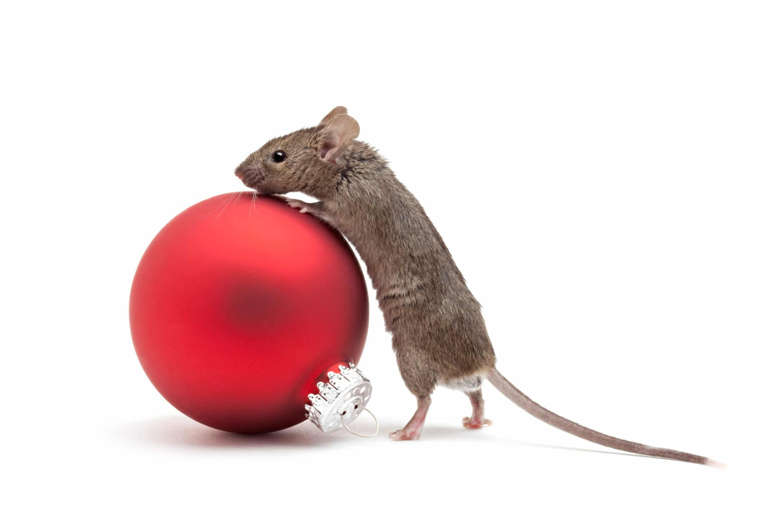 Mouse looking over a red Christmas ornament