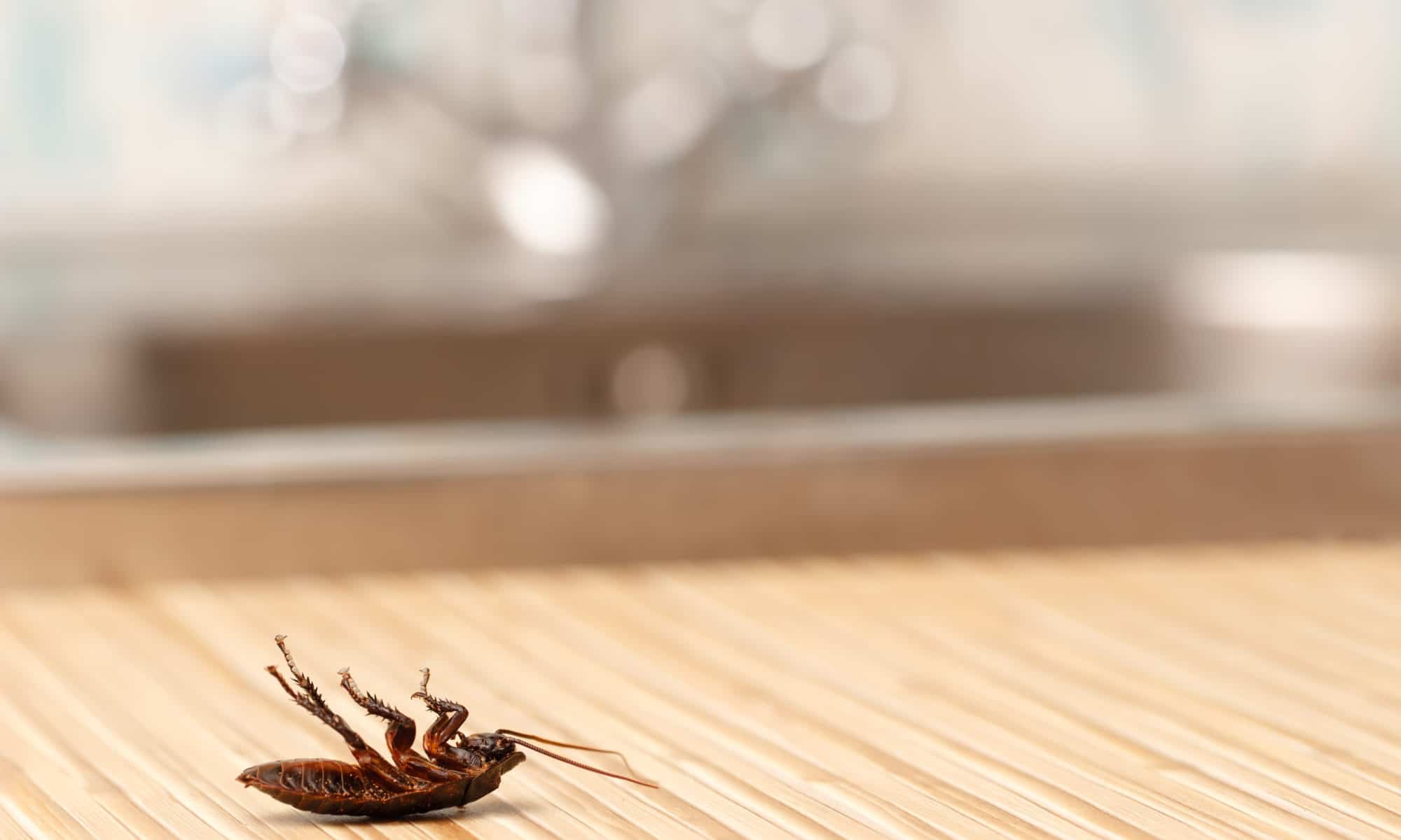 A dead cockroach in someones home after using the integrated pest management approach