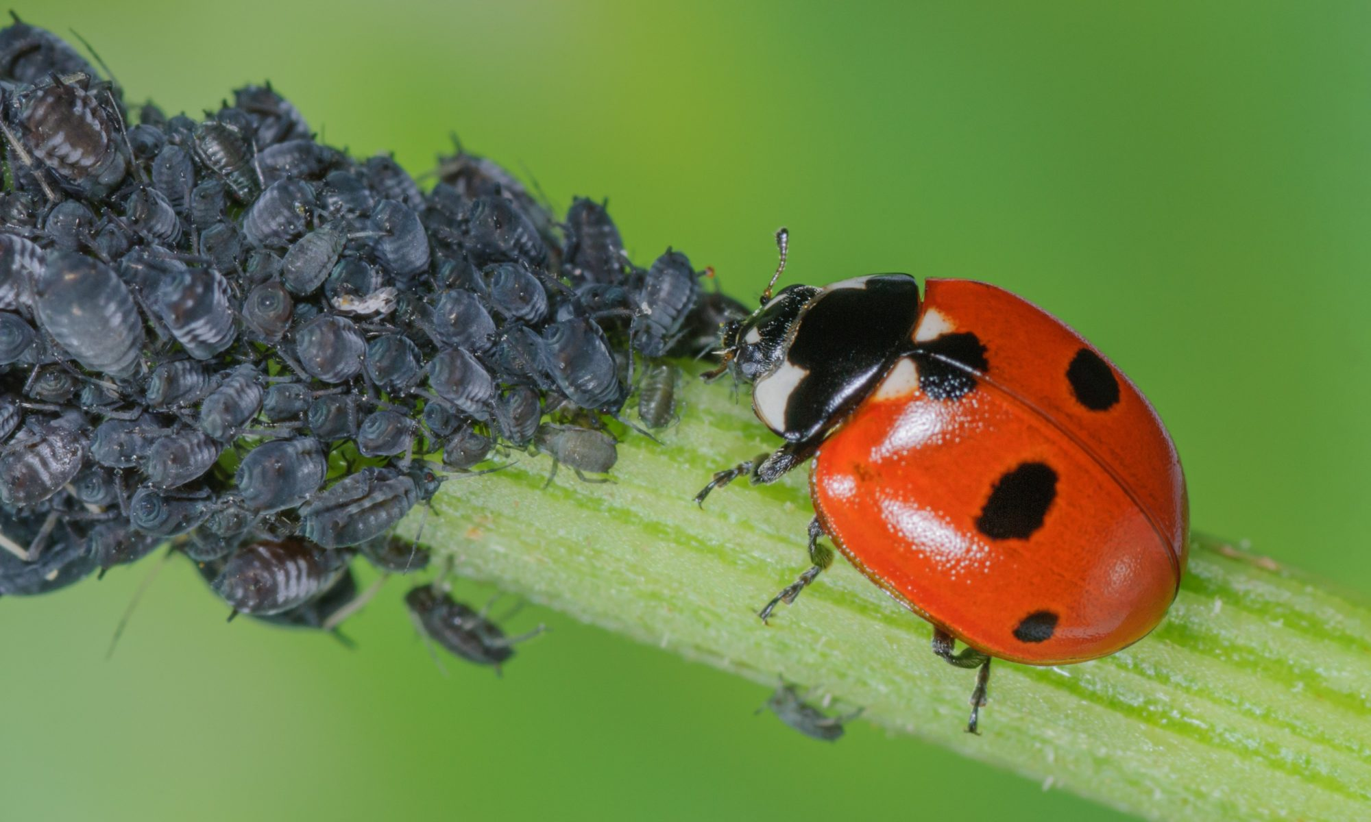 A ladybug being a beneficial isnects and hunting aphids on a plant