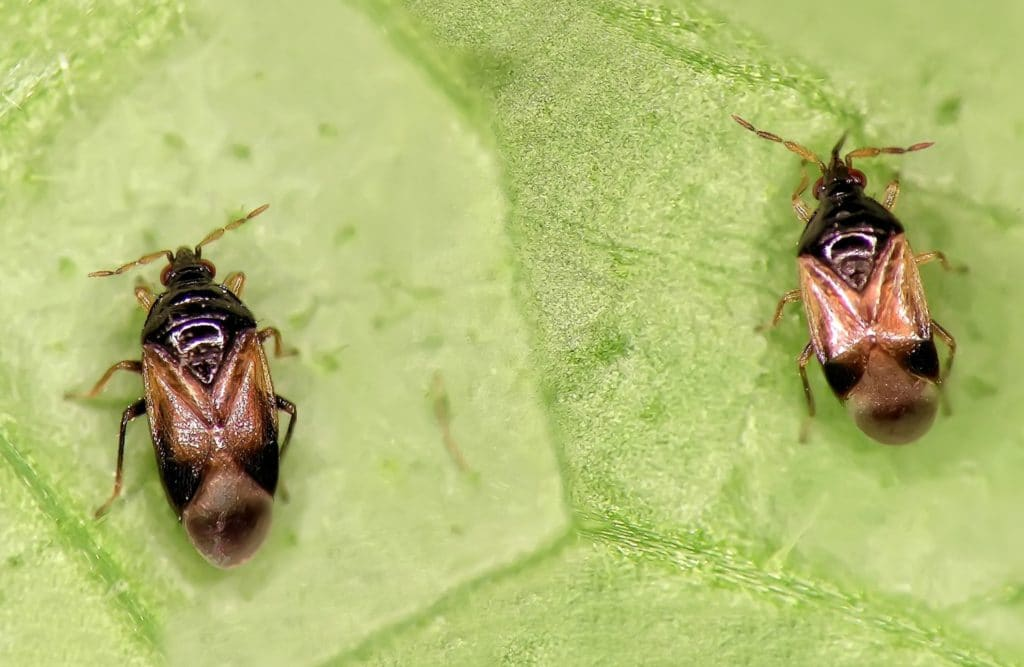 Two Minute Pirate Bugs on a leaf being beneficial insects