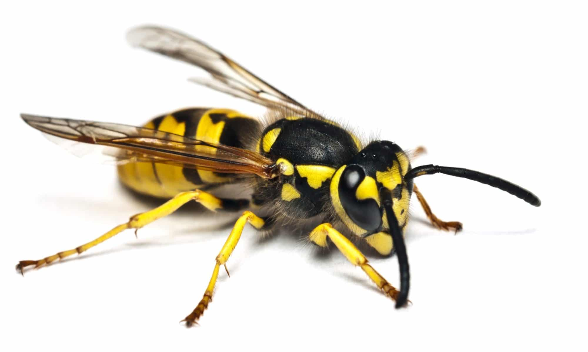 A portrait of a yellow jacket isolated on a white background