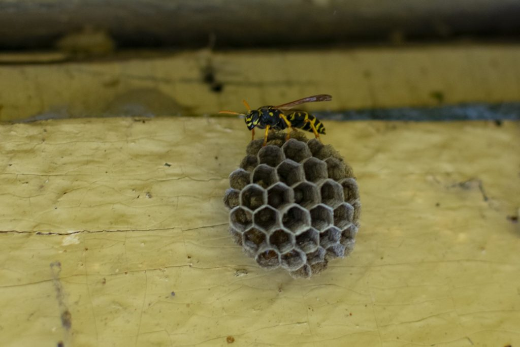 A single yellow jacket building a small nest