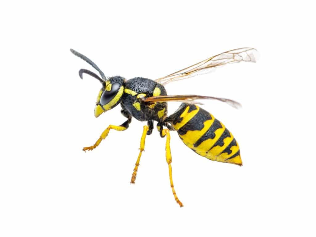 A closeup side view of a yellow jacket.